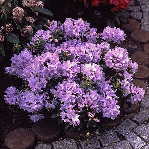 Dominik Blumen und Pflanzen Zwerg-Rhododendron, Rhododendron impeditum, blau blühend, 1 Strauch, buschig, 15-20 cm hoch, 2 Liter Container, plus 1 Paar Handschuhe gratis