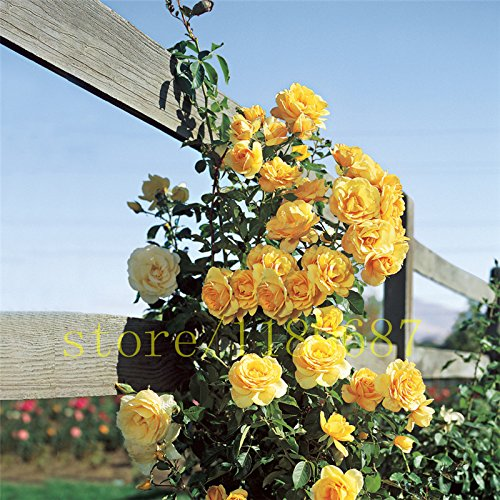 200 pcs nouvelle graines d'arbres de rose arbre fleur rose semences maison jardin plantation