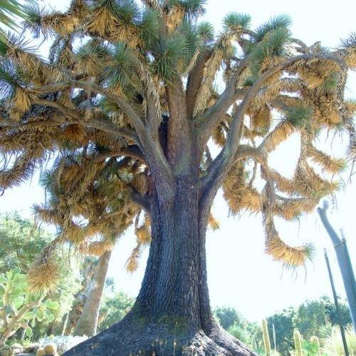 Yucca filifera, seltene Palme Wüste Agave Garten exotischen aloe seed 15 SEEDS