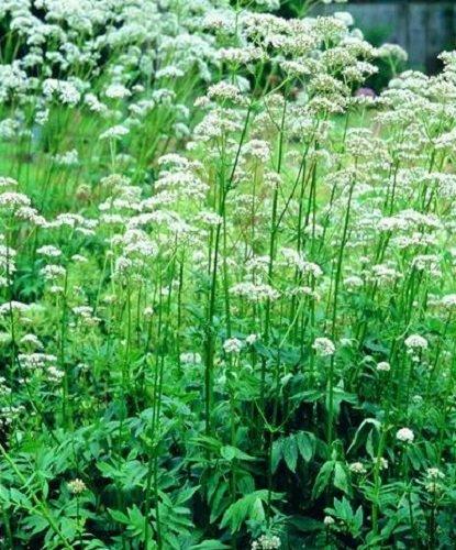 herb-seeds-valerian-400-seeds