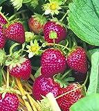 Erdbeere Ostara, 10 Stück, Torftopf