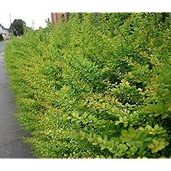 Heckenpflanzen Grüne Hecken-Berberitze Wurzelware 40 - 60cm (10 Stück)