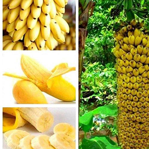 Qulista Samenhaus - Raritäten BIO Banane Bonsai schnellwachsend Obst Saatgut mehrjährig winterhart Exotik für Terrasse und Balkon - 3