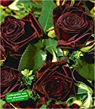 BALDUR-Garten Edelrosen 'Black Baccara®', 1 Pflanze fast schwarze Rose winterhart