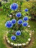 10 Stück Seltene Chinesische Pfingstrose Samen Einpflanzen von Blumen und Garten Paeonia Suffruticosa Samen Indoor Bonsai Pflanzen Blumen Samen 6
