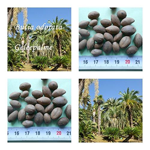 butia odorata - Geleepalme - Samen - (50)