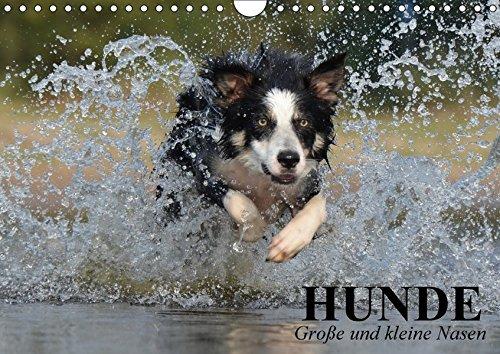 Hunde. Große und kleine Nasen (Wandkalender 2018 DIN A4 quer): Lustige und niedliche Hundebilder zum schmunzeln! (Geburtstagskalender, 14 Seiten ) (CALVENDO Tiere) (Große Labrador-retriever)