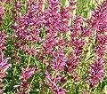 Mexikanische Agastache Sangria - Agastache mexicana von Baumschule - Du und dein Garten