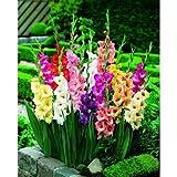 Garthwaite NurseriesGladiolen-Mischung, Blumenzwiebeln, verschiedene Sorten, mehrjährige Sommerblume,100Stück
