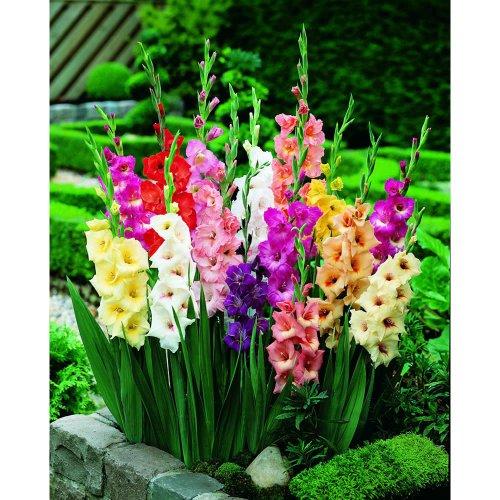 100-bulbi-le-radici-tuberose-gladioli-varieta-miste-dofferta-eccellente-fioritura-in-estate