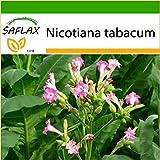 SAFLAX - Pianta del tabacco - 250 semi - Con substrato - Nicotiana tabacum