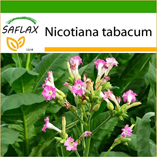 SAFLAX - Echter Virginischer Tabak - 250 Samen - Mit Substrat - Nicotiana tabacum