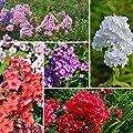 Hoher Staudenphlox, Flammenblume, Phlox Farbmischung 5 Pflanzen, je im 1 L. Topf von Grüner Garten Shop - Du und dein Garten