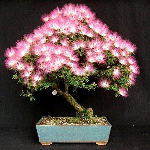Preisvergleich Produktbild easyshop 10pcs entsamt Garten albizia julibrissin Blume Samtblumenbaum eingemachte Anlage