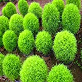 Kochia Bush Green Flower Desi Seeds Summer Variety Special for Home and Balcony Gardening (Buy 1 Get 1 Free) By Kraft Seeds