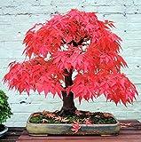 PLAT FIRM GERMINATIONSAMEN: 20 Satz: Rote Japanischer Ahorn, (Palmatum atropurpureum) Landschaftsbau Baumsamen Bonsai