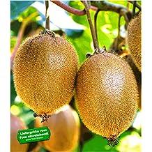 Kiwi Pflanzen Kaufen Amazon