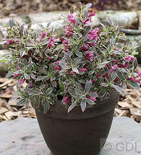 OBI Solitärpflanze, Ziergehölz