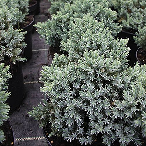 juniperus-squamata-blue-star-blauer-zwerg-wacholder-25-30cm-3l-container-lieferbreite-nadelgeholze-s