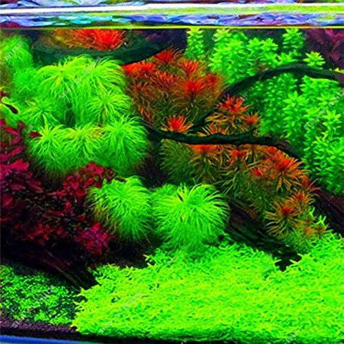 KINGDUO Egrow 1000 Pcs Aquarium Pflanzen Samen Kiefern Raras Pflanzen Aquatische Fisch Tank Bäume-Grün
