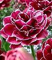 """BALDUR-Garten Rosentulpe""""Dream Touch""""; 8 Zwiebeln Tulipa von Baldur-Garten auf Du und dein Garten"""