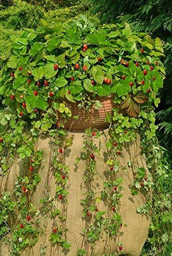 Wild Strawberry Attila Samen - Wald-Erdbeere