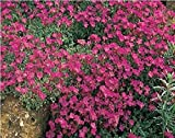 Just Seed - Blume - Rock Cress - Griechisches Blaukissen (Aubrieta deltoidea) - Royal Rot - 250 Samen
