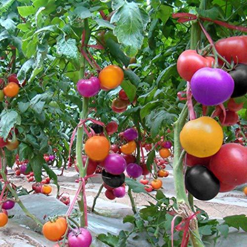 begorey Garten – 100 Stk. Multicolor Tomatensamen Rainbow-Tomaten Selten Regenbogen Tomatensamen Haus Garten Hof Pflanze Gemüse Samen Bio Obstsamen