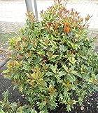 Osmanthus heterophyllus Goshiki - Stachelblättrige Duftblüte Goshiki - Herbst-Duftblüte -