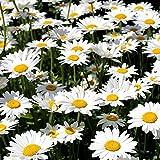 Oxeye Daisy Graines - Chrysanthème Leucanthemum