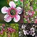 Teebaum 30 Samen, Südsee-Myrte, (Leptospermum scoparium) Manuka Tea Tree