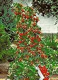 Creative Farmer Herb Yielding Seeds - Climbing Strawberry Seeds