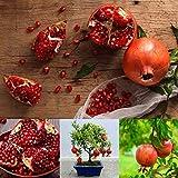 Keptei Samenhaus- Granatapfelbaum Samen Punica Granatum Zwerg Granatäpfel Seed Zierbaum Bonsai winterhart mehrjährig für Garten usw (10)