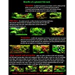 25 Live Aquarium Plants/9 Different Kinds - Amazon Swords, Anubias, Java Fern, Ludwigia and much more! Great plant… 12