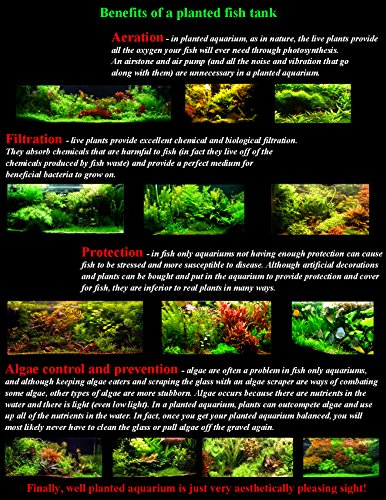 25 Live Aquarium Plants/9 Different Kinds - Amazon Swords, Anubias, Java Fern, Ludwigia and much more! Great plant… 3