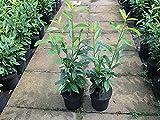 Kirschlorbeer Genolia ® Containerpflanzen 60-80 cm