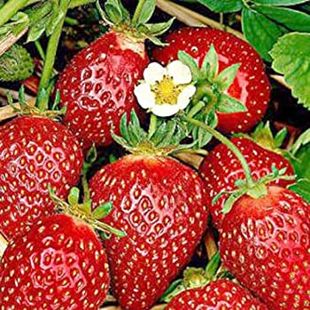 30 x STRAWBERRY PLANTS BARE ROOTED Flamenco Everbearer C//S
