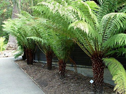 Dicksonia antarctica - Tree Fern...