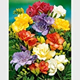Soteer Garten - Freesien & Ranunkel-Mix Samen Duft-Freesien Blumensamen Blumenmeer Sommerblumen Gartenpflanzen duftend mehrjährig winterhart (100 Stück)