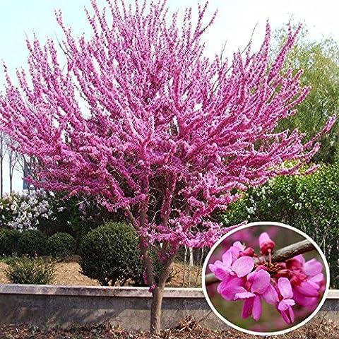 Paleo 2pcs planta china semillas de flores del redbud patio con jardín Bauhinia árbol de hoja caduca