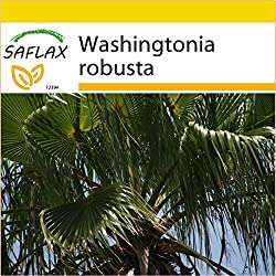 SAFLAX - Anzucht Set - Washingtonia Fächerpalme - 12 Samen - Washingtonia robusta