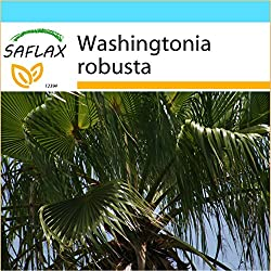 SAFLAX - Geschenk Set - Washingtonia Fächerpalme - 12 Samen - Washingtonia robusta