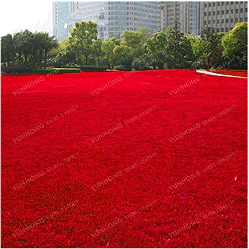 500 Pcs Rare Blue Grass Seed Graines à gazon Fleurs vivaces Jardin Terrains de soccer Villa Haute GradeOutdoor Graine de plantes 7