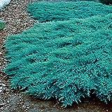 Qulista Samenhaus - Rarität Blauer Kriechwacholder Teppichwacholder 'Blue Carpet' Bodendecker Rasenersatz 100pcs Blumensamen mehrjährig winterhart pflegeleicht, für Anfänger