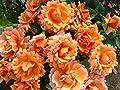 Rosen-Halbstamm 'Steinfurther Abendsonne' (R) im Container von Rosen Union bei Du und dein Garten