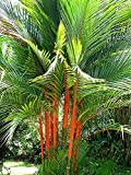 Portal Cool Tropical sigillatura Cera di Palma 10 Semi