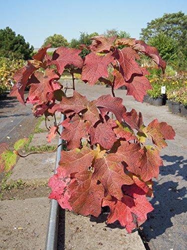 Eichenblatthortensie Snowflake 40-60 cm Strauch für Sonne-Halbschatten Heckenpflanze weiß blühend Gartenpflanze winterhart 1 Pflanze im Topf