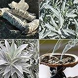 White Sage Bonsai Organic Herbs Salvia apiana Rare perenni Foglie Heirloom Naturale delle Piante 20-500PCS