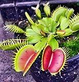 UPSTONE Garten - Venusfliegenfalle Samen Dionaea muscipula fleischfressenden Pflanzen große Fangzähne (50)