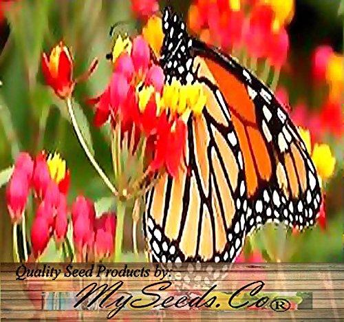 ScoutSeed (50 TROPISCHER Sonnenuntergang Blumensamen - Asclepias curassavica - Scharlachroter Milkweed Seed